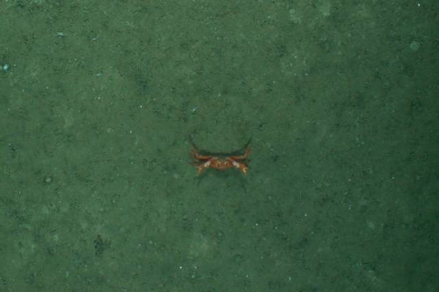 Crab seen by the tow camera