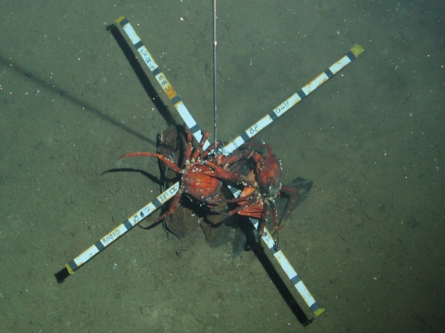 Deep-sea red crabs fighting over bait