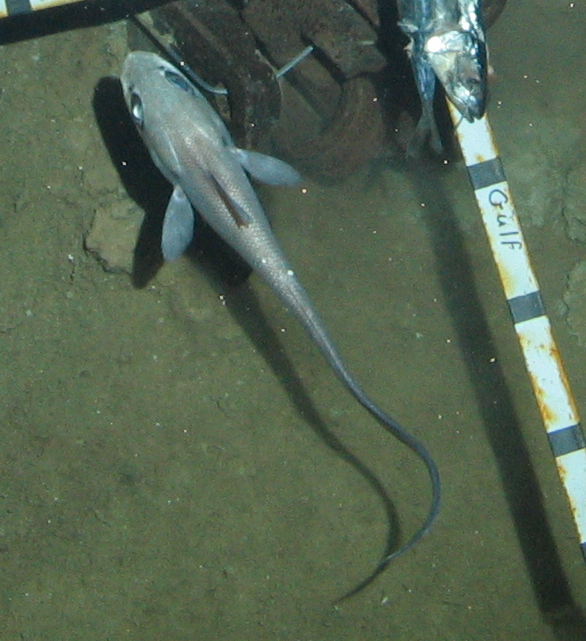 Mexican Rattail fish