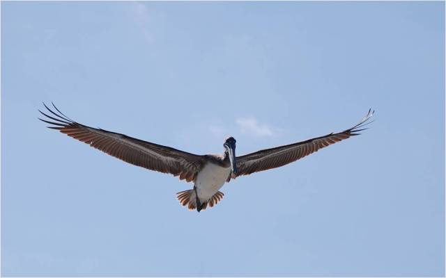 A pelican comes in for some aerial monitoring